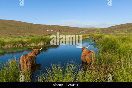 Scottish Highland cattle cool off in a pond on a hot summer day in the heart of the North York Moors National Park. - Stock Photo