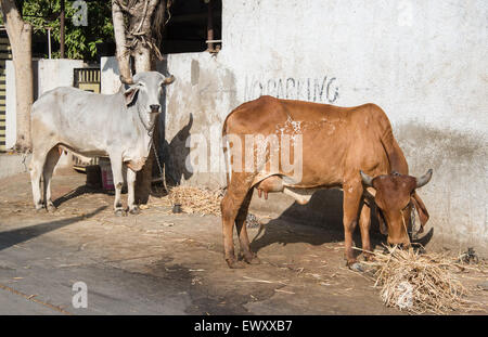 Gir or Gyr Cow originated in India. This breed is used to breed other cattle such as Brahaman in US - Stock Photo