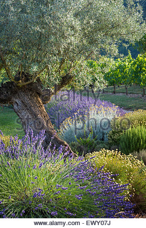 Olive tree, Lavender and Grapevines in garden near Saint Cirq Lapopie, Midi-Pyrenees, France - Stock Photo