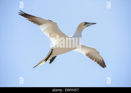 Northern gannet flying in the sky - Stock Photo