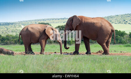Two elephants facing each other, South Africa - Stock Photo