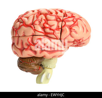Human Brain Model Side View Isolated on White Background. - Stock Photo