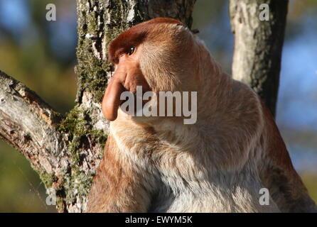 Portrait of a mature male Asian Proboscis or long nosed monkey (Nasalis larvatus), head turned sideways - Stock Photo