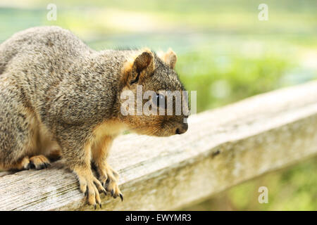 Close up of squirrel sitting on wooden pole - Stock Photo