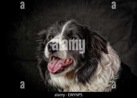 Lovely portrait of an old Border collie - Stock Photo