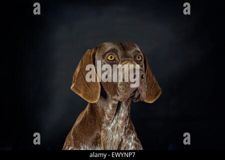 Beautiful portrait of a German Shorthaired Pointer - Stock Photo