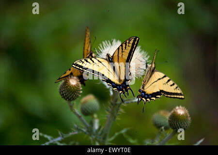 Three tiger swallowtail butterflies on a thistle flower. - Stock Photo