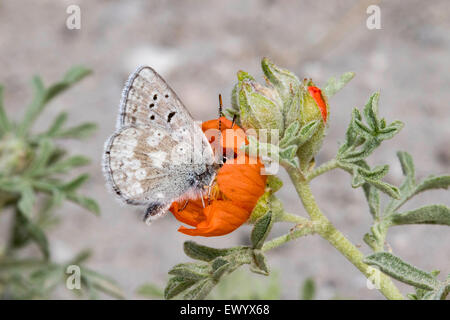 Arctic Blue  Agriades glandon near Bryce Canyon National Park, Garfield County, Utah, United States 23 June     - Stock Photo