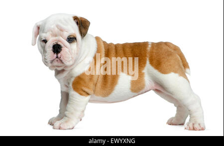 English bulldog puppy in front of white background - Stock Photo