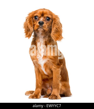 Cavalier King Charles Spaniel (8 months old) in front of a white background - Stock Photo