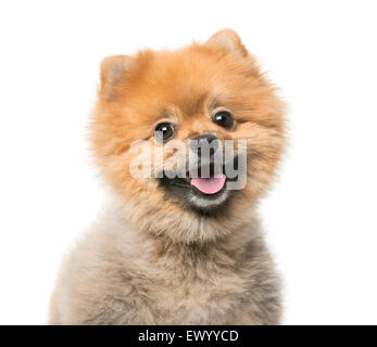 Pomeranian (3 years old) in front of a white background - Stock Photo