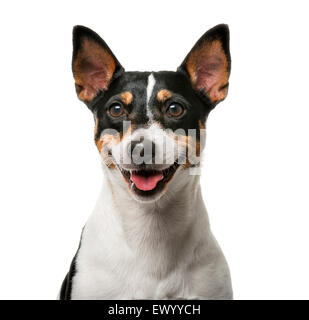 Jack Russell Terrier (7 years old) in front of a white background - Stock Photo