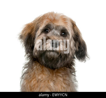 Havanese puppy (4 months old) in front of a white background - Stock Photo