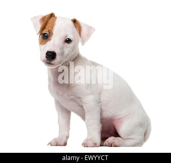 Jack Russell Terrier puppy (2 months old) in front of a white background - Stock Photo