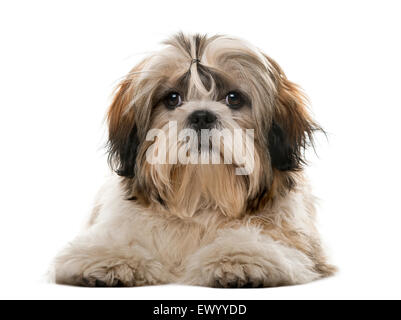 Shih Tzu in front of a white background - Stock Photo