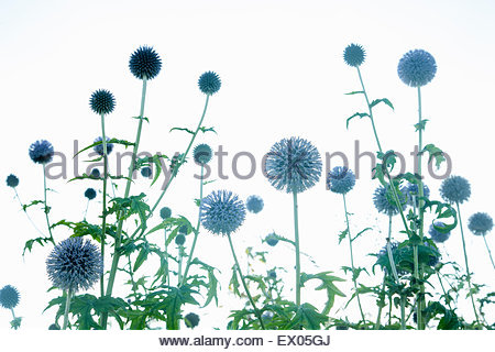 Echinops Bannaticus Taplow Blue - Globe Thistle - Stock Photo
