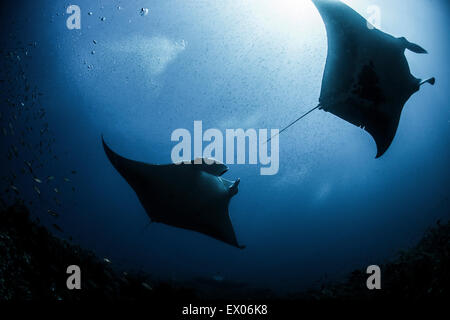 Silhouetted reef manta rays swimming around underwater pinnacle north Yucatan Peninsula Cabo Catoche Quintana Roo - Stock Photo