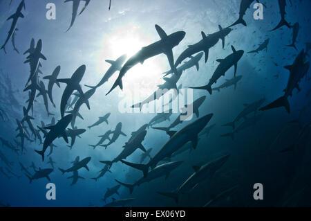 Silky sharks gather big schools around Roca Partida Island part mating rituals Revillagigedo Archipelago Mexico - Stock Photo