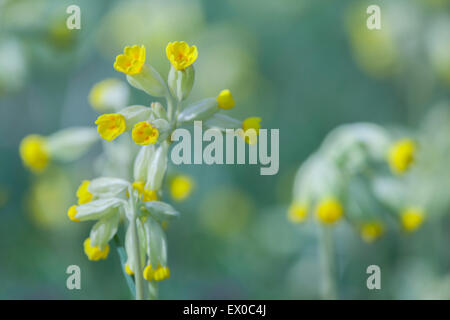 Cowslips (Primula Veris) growing in coppiced woodland near Settle, Craven District, Yorkshire Dales, North Yorkshire, - Stock Photo