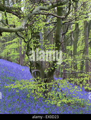 Bluebells in Beech Woodland near Brighouse, Calderdale, West Yorkshire, UK - Stock Photo