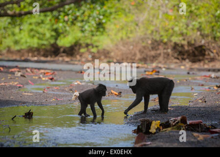 Social activity of Sulawesi black-crested macaque (Macaca nigra). - Stock Photo
