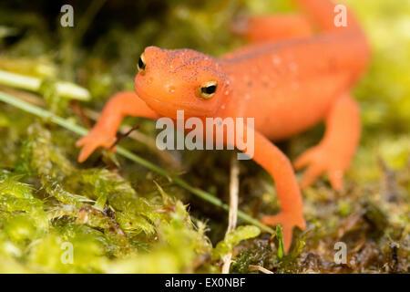 Salamander uk
