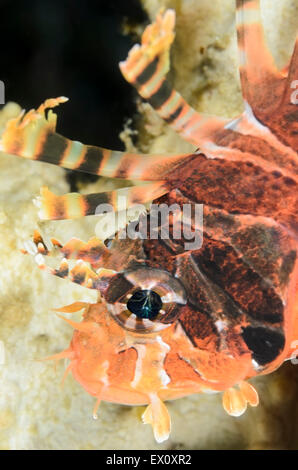 Spotfin lionfish, Pterois antennata, Anilao, Batangas, Philippines, Pacific - Stock Photo