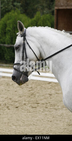 Head shot of a gray dressage sport horse in action - Stock Photo