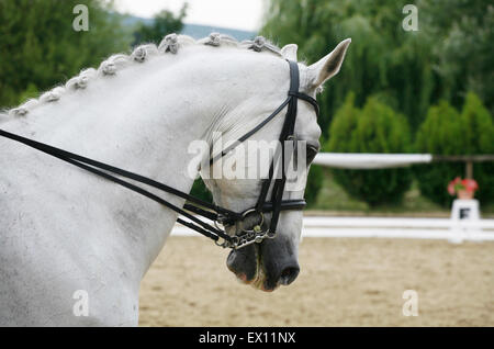 Head shot of a grey dressage sport horse in action. Side view portrait of a beautiful grey dressage horse during - Stock Photo