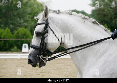 Head shot of a gray dressage sport horse in action. Side view portrait of a beautiful grey dressage horse during - Stock Photo
