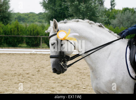 Head of a beautiful award-winning horse in the arena. First prize rosette in a dressage horse's head - Stock Photo