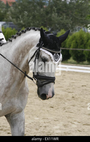 Head shot of a grey dressage sport horse in action - Stock Photo