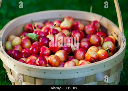 Basket full of sweet cherries - Stock Photo