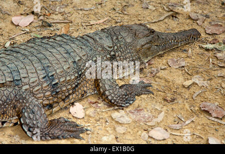 one fresh water crocodile basking in the sun - Stock Photo
