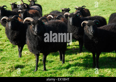 Black Sheep livestock Isle of Wight, Hampshire England, UK Europe - Stock Photo