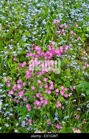 Red Campion - Silene dioica & Wood Forget-me-not - Myosotis sylvatica - Stock Photo