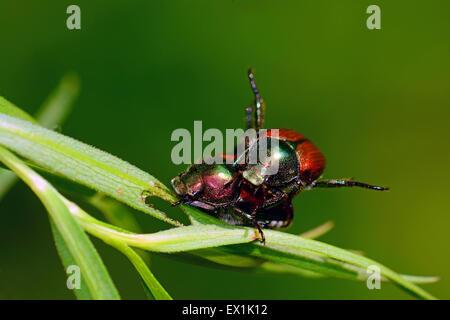 Beetles mating - Stock Photo