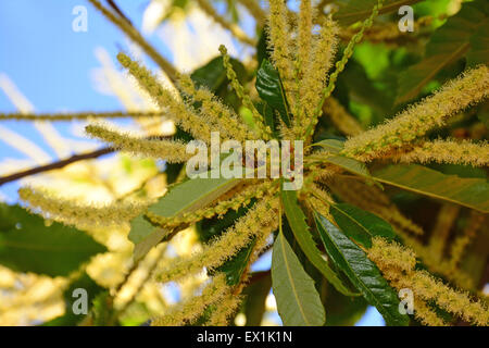 Chestnut Tree blossom - Stock Photo
