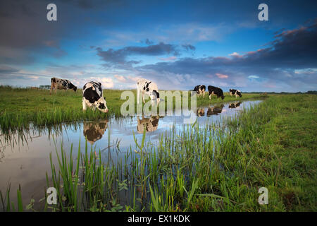 cows grazing on pasture by river in summer - Stock Photo