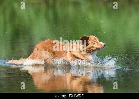A Nova Scotia Duck Tolling Retriever leaping into the water - Stock Photo