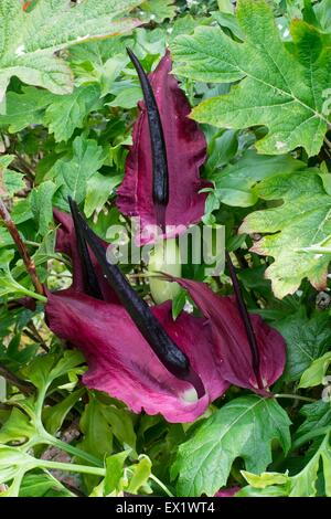 Dracunculus vulgaris dragon arum - Stock Photo