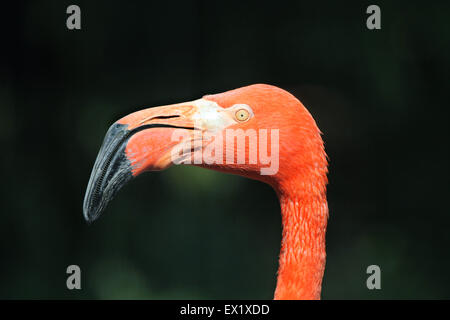 Caribbean flamingo (Phoenicopterus ruber ruber), also known as the American flamingo at Schönbrunn Zoo in Vienna, - Stock Photo