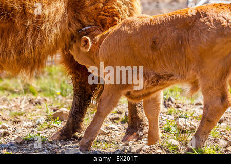 Closeup of a baby red calf suckling mother cow in countryside farm - Stock Photo