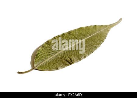 dry leaf ficus white isolated background herbarium - Stock Photo