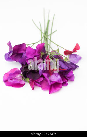 Lathyrus odoratus. Sweet pea flowers against a white background. - Stock Photo