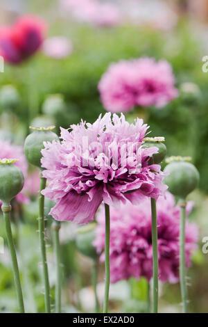 Papaver somniferum. Purple poppies in an English garden. - Stock Photo