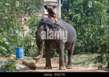 An Indian Elephant (Elephas maximus) at a tourist centre in Thekkady demonstrates logging practices guided by its - Stock Photo