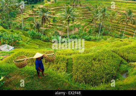 Unidentified farmer works and carries baskets on his shoulder in the field of rice and corn - Stock Photo