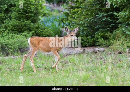 Mule Deer  Odocoileus hemionus Cedar Breaks National Monument, Iron County, Utah, United States 29 June     Young - Stock Photo