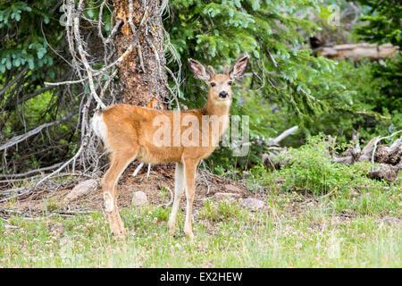 Mule Deer  Odocoileus hemionus Cedar Breaks National Monument, Iron County, Utah, United States 29 June     Young - Stock Photo
